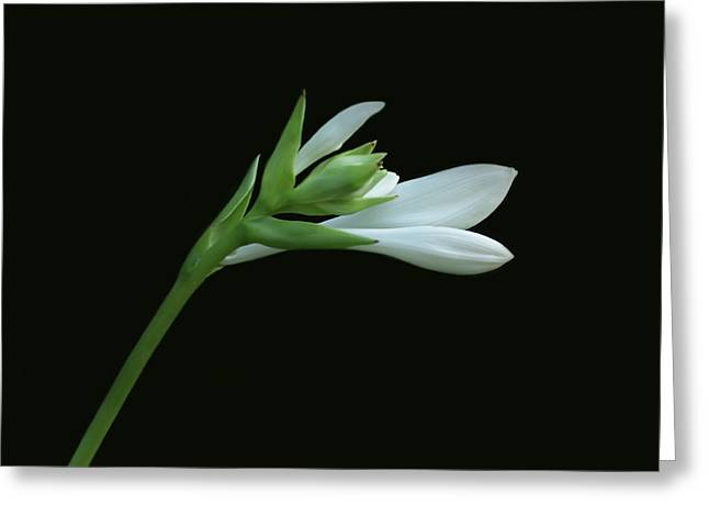 Indiana Flowers Greeting Cards - Hosta Greeting Card by Sandy Keeton