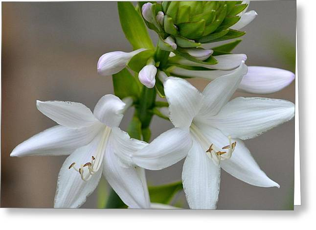 Hostas Greeting Cards - Hosta Greeting Card by Todd Hostetter