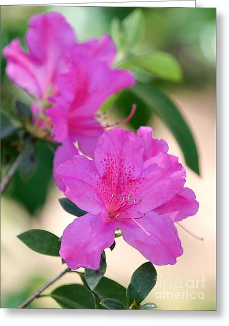 Florida Flowers Greeting Cards - Hot Pink Azalea Greeting Card by Sabrina L Ryan