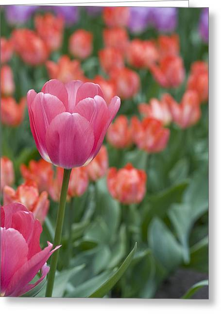 Delicate Bloom Greeting Cards - Hot Pink Greeting Card by Juli Scalzi