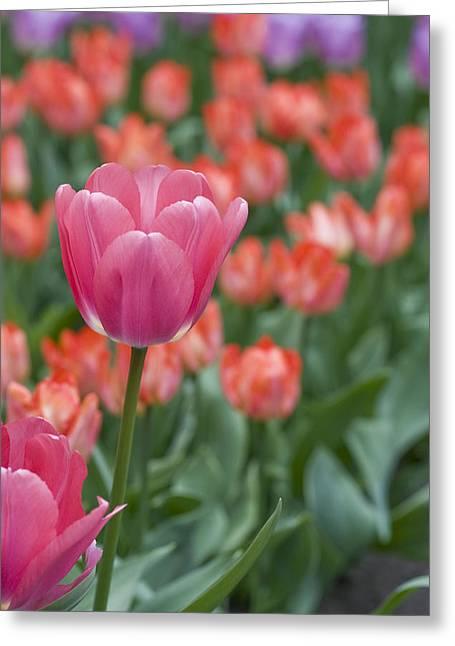 Keukenhof Gardens Greeting Cards - Hot Pink Greeting Card by Juli Scalzi