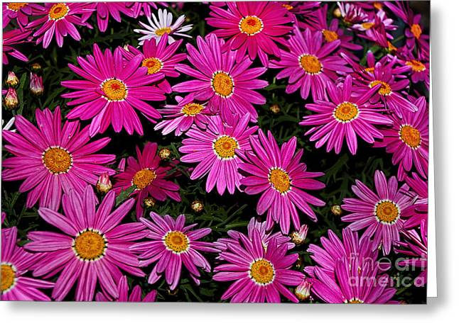 Yellow Stamen Greeting Cards - Hot Pink Daisies Greeting Card by Kaye Menner