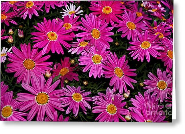 Hot Pink Daisies Greeting Card by Kaye Menner