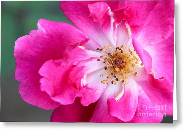 Florida Flowers Greeting Cards - Hot Pink Rose Greeting Card by Sabrina L Ryan