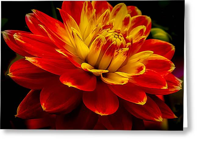 Asters Greeting Cards - Hot Red Dahlia Greeting Card by Julie Palencia