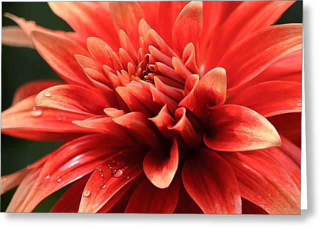 Hot Tamale Dahlia Greeting Card by Julie Palencia
