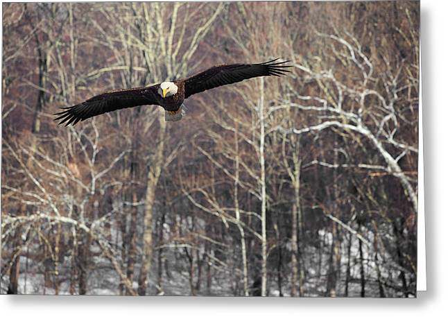 Eagle In Flight Greeting Cards - Housatonic River Eagle Greeting Card by Bill  Wakeley