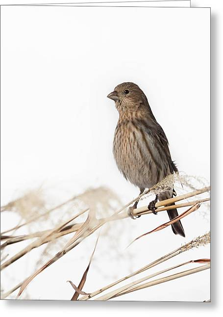 House Finch Greeting Cards - House FInch Female Greeting Card by Bill  Wakeley