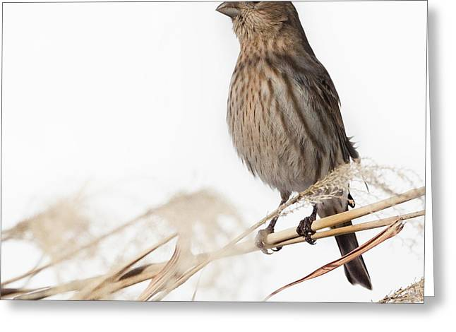 House Finch Greeting Cards - House Finch Female Square Greeting Card by Bill  Wakeley