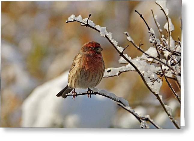 House Finch Greeting Cards - House Finch in Snow Greeting Card by Sandy Keeton