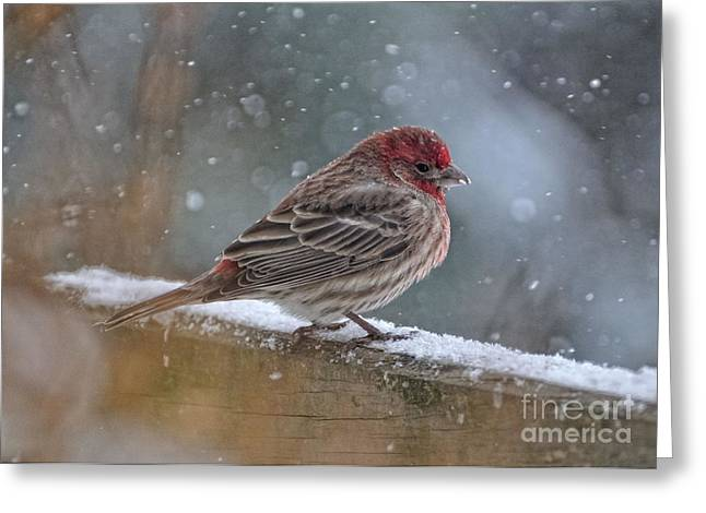 House Finch Greeting Cards - House Finch in Winter Greeting Card by Pamela Baker