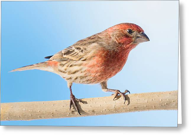 Birdwatching Greeting Cards - House Finch Greeting Card by Jim Hughes