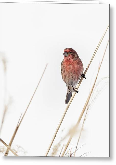 Finch Greeting Cards - House Finch Male Greeting Card by Bill  Wakeley