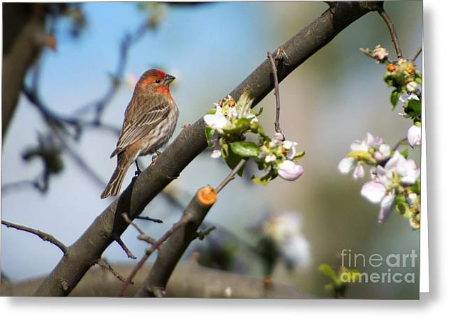 Finch Greeting Cards - House Finch Greeting Card by Mike Dawson