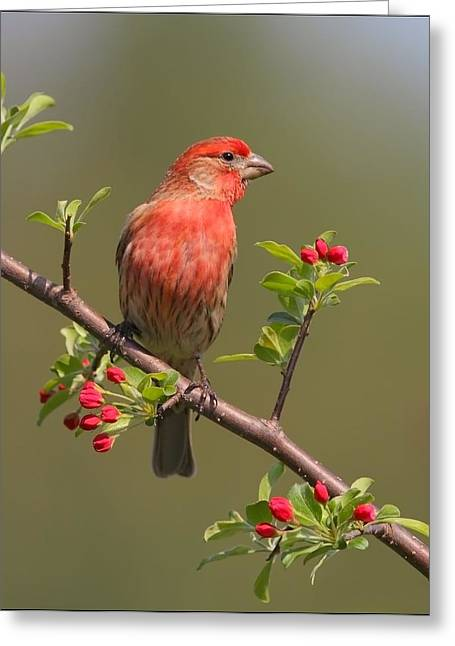 Apple Pyrography Greeting Cards - House Finch on Apple Blossoms Greeting Card by Daniel Behm