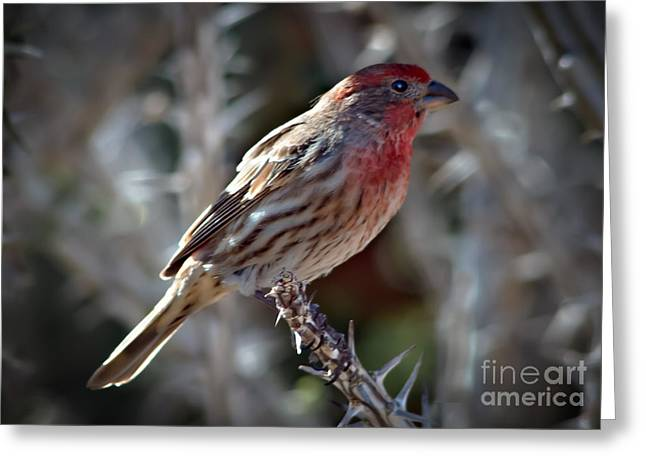 Back Yard Birds Greeting Cards - House Finch Greeting Card by Robert Bales