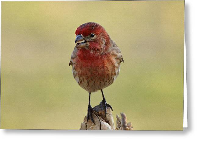 House Finch Greeting Cards - House Finch with Seed Greeting Card by Sandy Keeton