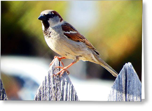Sparrow Greeting Cards - House Sparrow Greeting Card by David G Paul