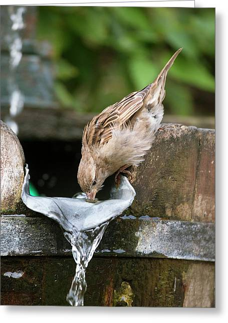House Sparrow Drinking Water Greeting Card by Simon Booth