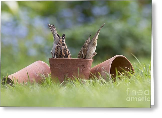 House Sparrow Feeding Greeting Card by Tim Gainey