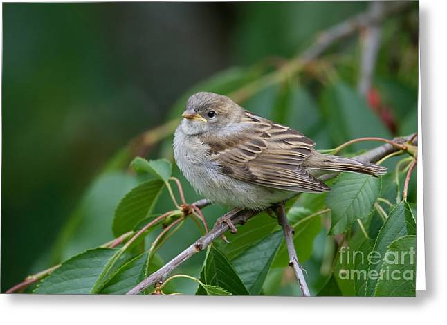 House Sparrow Greeting Card by Frank Derer