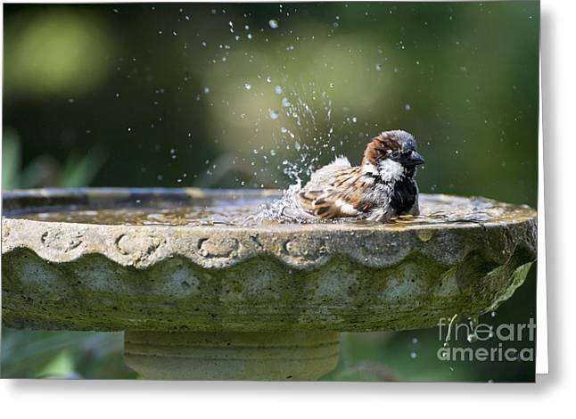Birdbath Greeting Cards - House Sparrow Washing Greeting Card by Tim Gainey