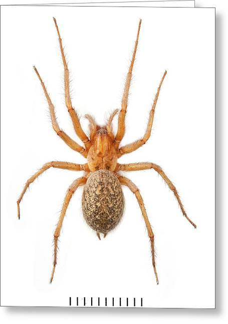 House Spider Greeting Card by Natural History Museum, London