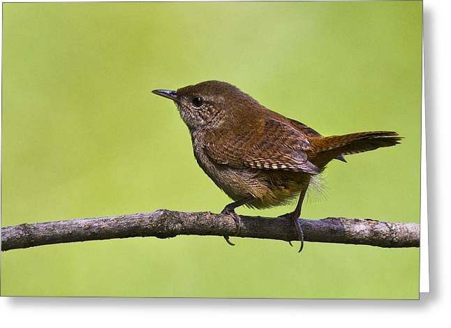 Effervescent Greeting Cards - House Wren Greeting Card by Marcia Colelli