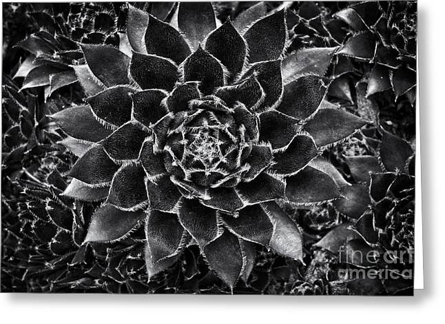 Rosette Greeting Cards - Houseleek Monochrome Greeting Card by Tim Gainey