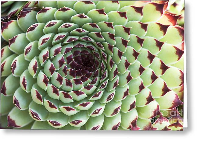 Ornamental Plants Greeting Cards - Houseleek Pattern Greeting Card by Tim Gainey