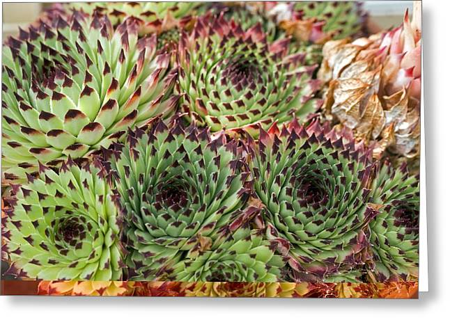 Houseleeks Greeting Cards - Houseleek (Sempervivum calcareum) Greeting Card by Science Photo Library