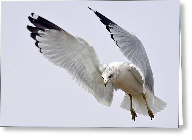 Hovering Greeting Cards - Hover 4 Greeting Card by Fraida Gutovich
