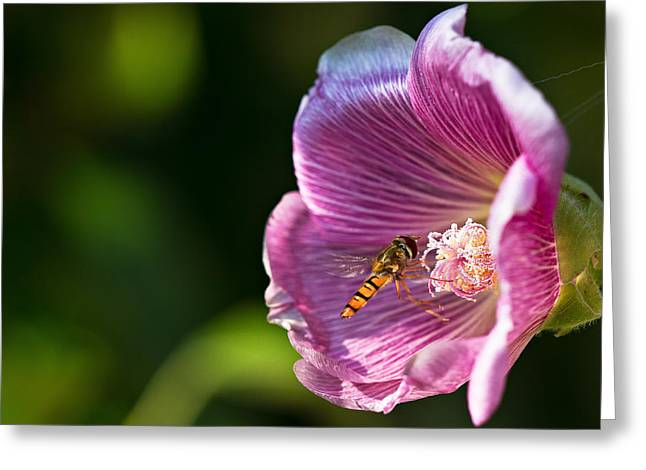 Hollyhocks Greeting Cards - Hoverfly and Hollyhock Greeting Card by Gert Lavsen