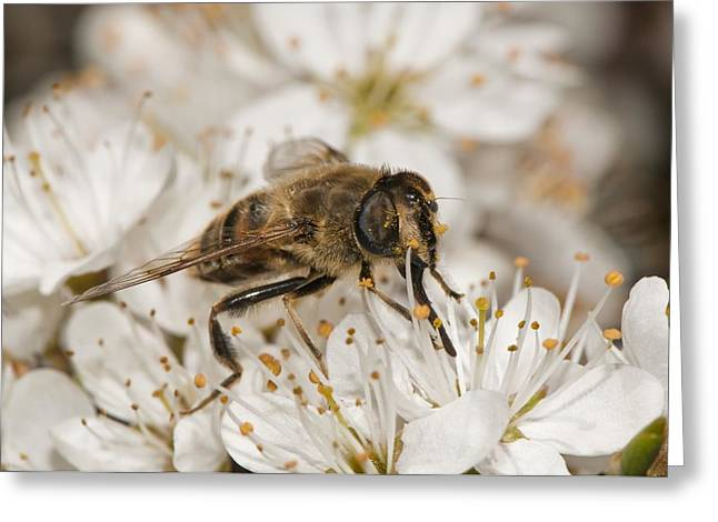 Eating Entomology Greeting Cards - Hoverfly feeding on a flower Greeting Card by Science Photo Library