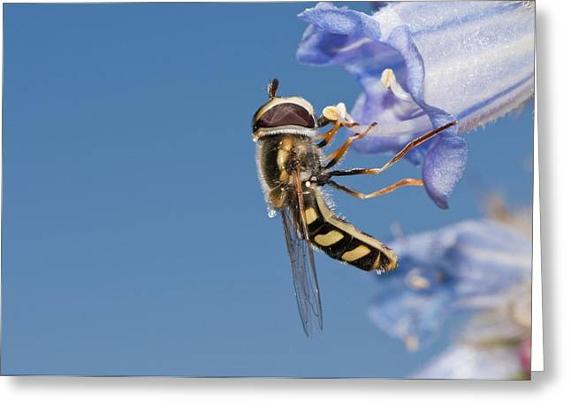Eating Entomology Greeting Cards - Hoverfly feeding Greeting Card by Science Photo Library