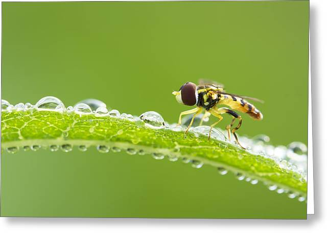 Netting Greeting Cards - Hoverfly in dew Greeting Card by Mircea Costina Photography