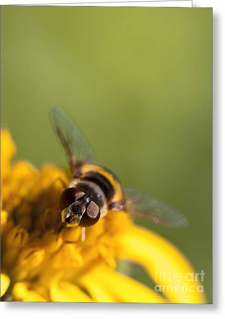 Sweat Greeting Cards - Hoverfly Macro on a Yellow Flower Greeting Card by Brandon Alms