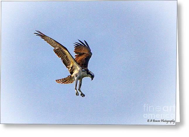 Hovering Osprey Greeting Card by Barbara Bowen