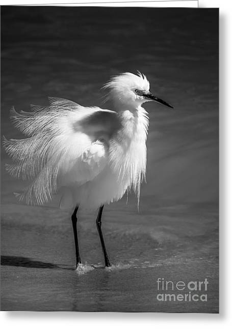 Snowy Egret Greeting Cards - How Do I Look- bw Greeting Card by Marvin Spates