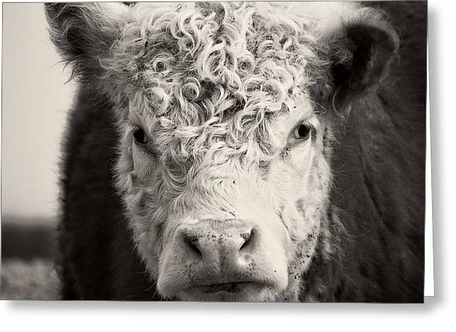 Domestic Cattle Greeting Cards - How now brown cow Square Format Greeting Card by Edward Fielding