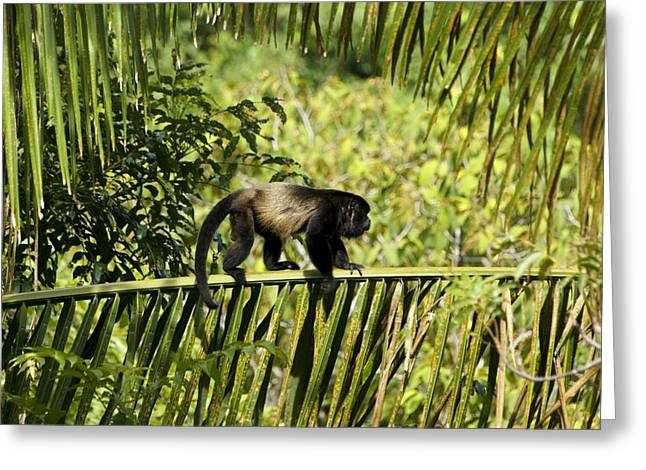 Male Domination Greeting Cards - Howler Monkey Portrait Greeting Card by Brian Kamprath