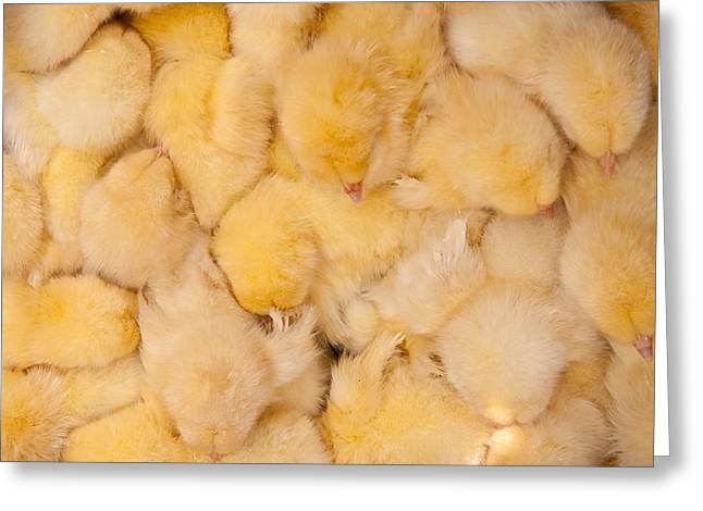 Fluffy Chickens Greeting Cards - Huddled Chicks as Background Greeting Card by Leyla Ismet