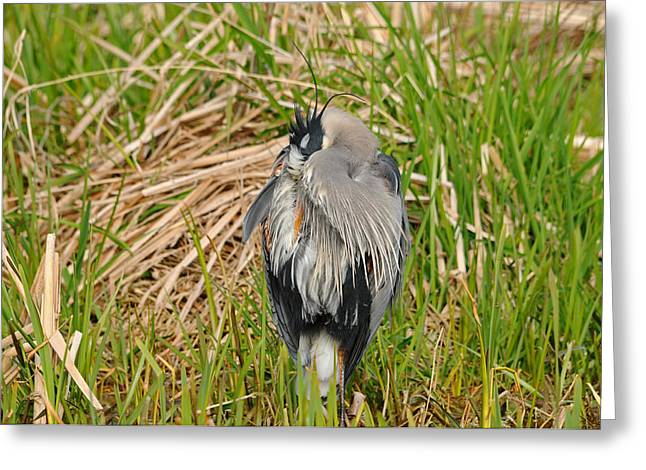 Huddled Great Blue Heron Greeting Card by Jlt Photography