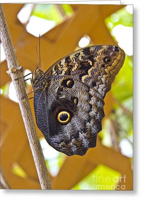 Huge Eyes Greeting Cards - Huge Butterfly In MIndo Ecuador Greeting Card by Al Bourassa