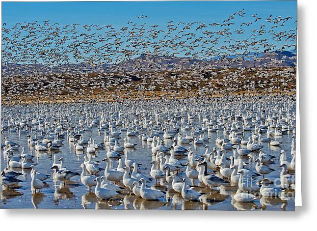 Snow Geese In Flight Greeting Cards - Huge Flock Of Snow Geese Greeting Card by Anthony Mercieca