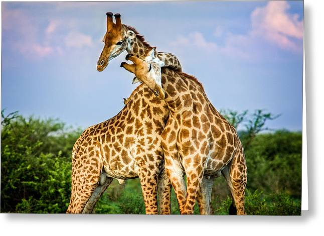 Soulmate Greeting Cards - Hugging Giraffes Greeting Card by Tim Booth