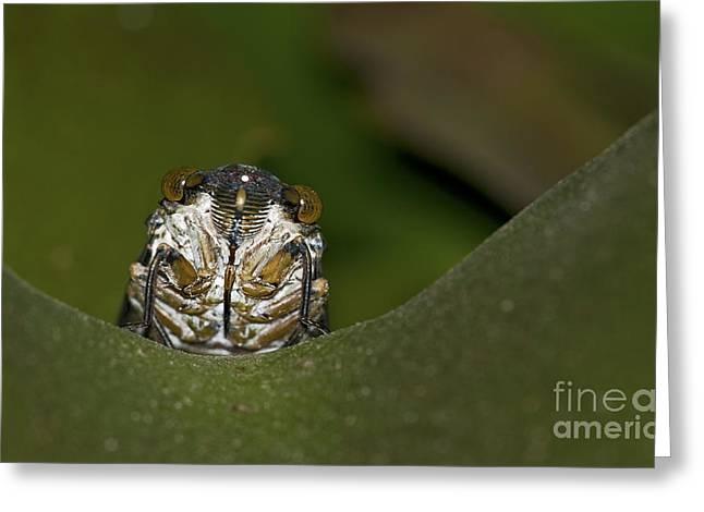 Cicada Greeting Cards - Huh... Greeting Card by Nina Stavlund