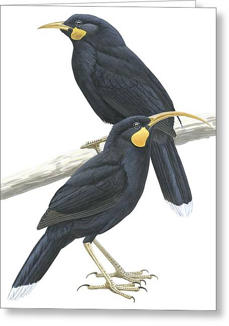 White Background Drawings Greeting Cards - Huia Greeting Card by Anonymous