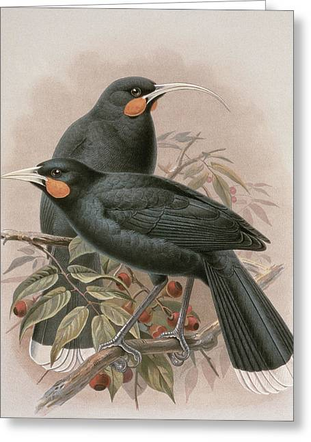 Chromolithograph Greeting Cards - Huia Greeting Card by Johan Gerard Keulemans