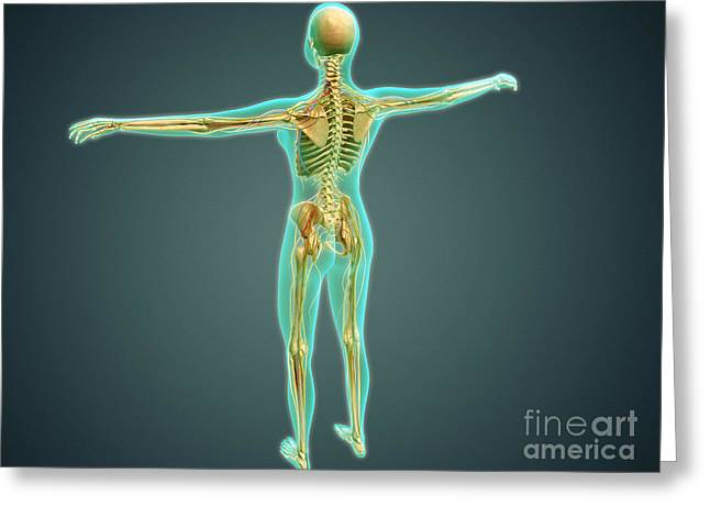 Sciatic Nerves Greeting Cards - Human Body Showing Skeletal System Greeting Card by Stocktrek Images